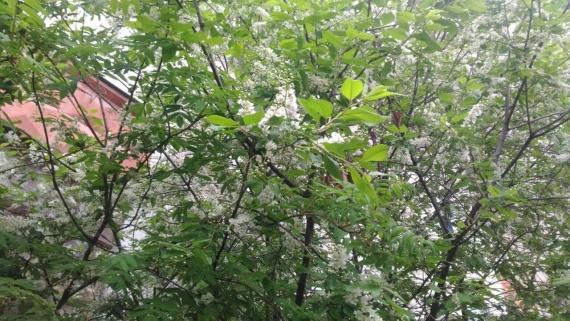 Из-за плохой погоды сургутская черемуха расцвела в июне