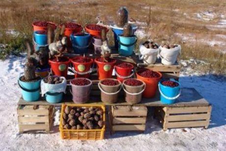 Дикоросы Югры перестанут быть дикими – правительство региона готовит условия для появления плантаций