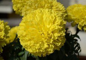 Тольяттинцы воруют цветы с городских клумб