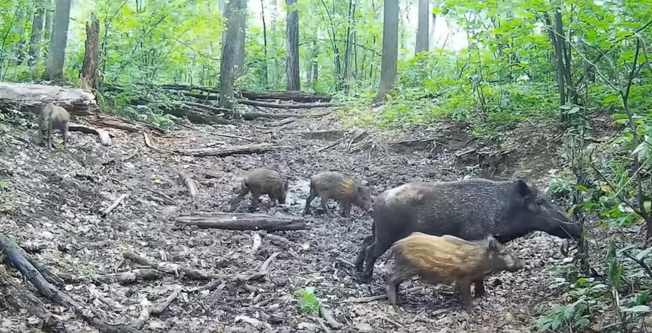 В Жигулевском заповеднике кабаны готовят водопои для других животных