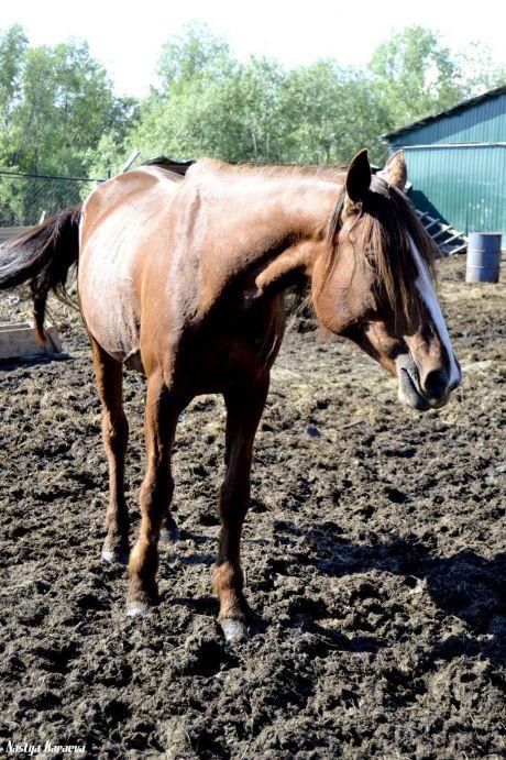 В Нижневартовске восемь лошадей ищут новый дом из-за закрытия конюшни