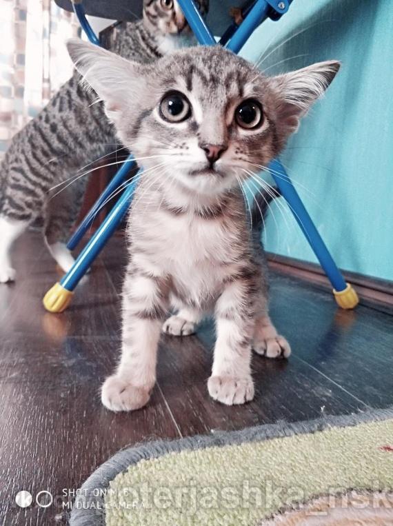 В столице Сибири нашли котенка с четырьмя ушами // ФОТО