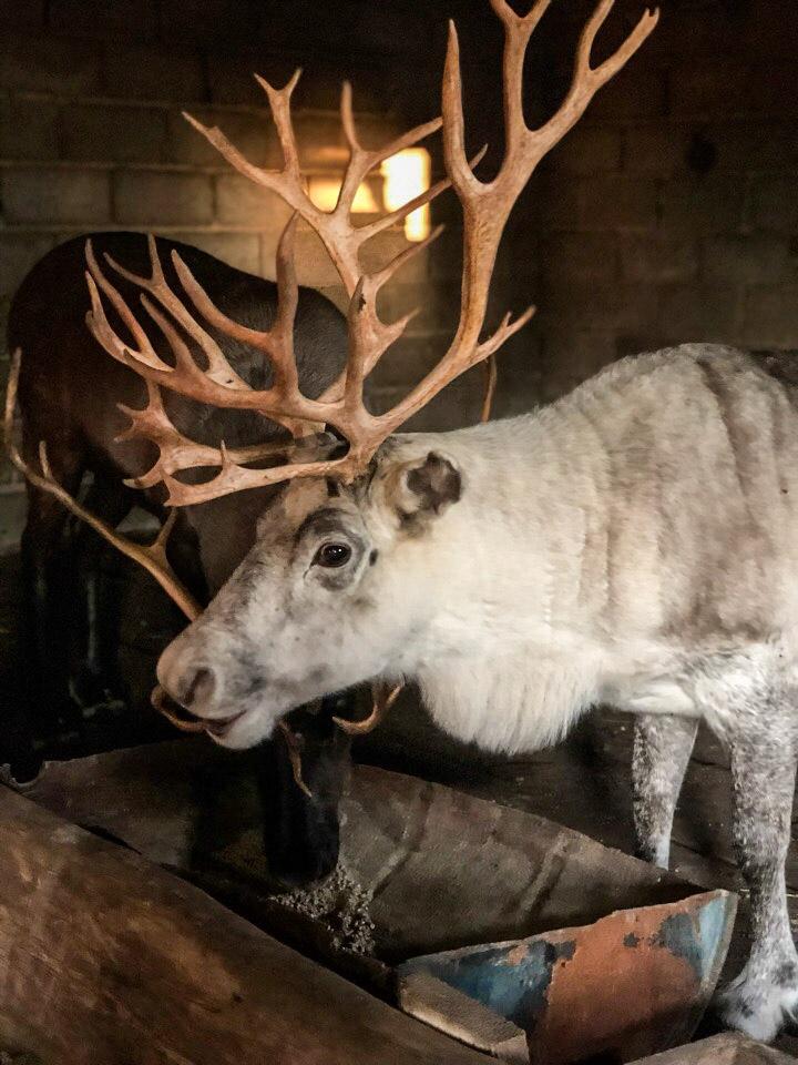 Два северных оленя убежали с турбазы под Тольятти. Ведется поиск